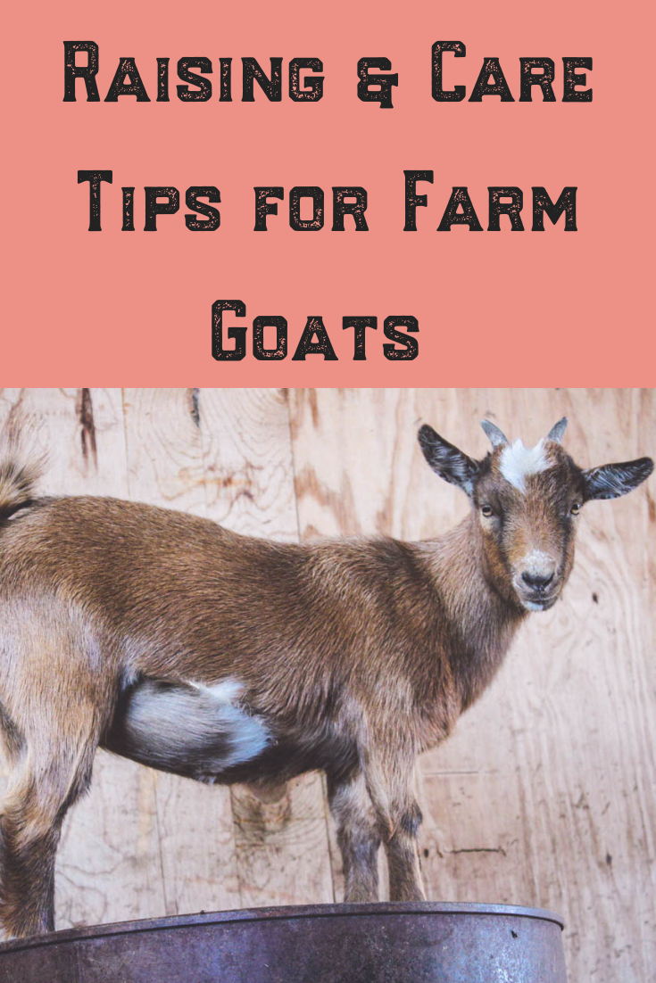 When we first adopted pygmy goats for our farm, I could use all of the care tips I could get. Raising baby goats is cute and funny, but it is also important to know what you are getting into! These tips are for anyone lucky enough to be raising goats, read on for tips, including the importance of building a proper pen so they don't break into your barn!#goat #farm #baby #funny #pygmy #raising #care #tips #cute #pen #barn #country