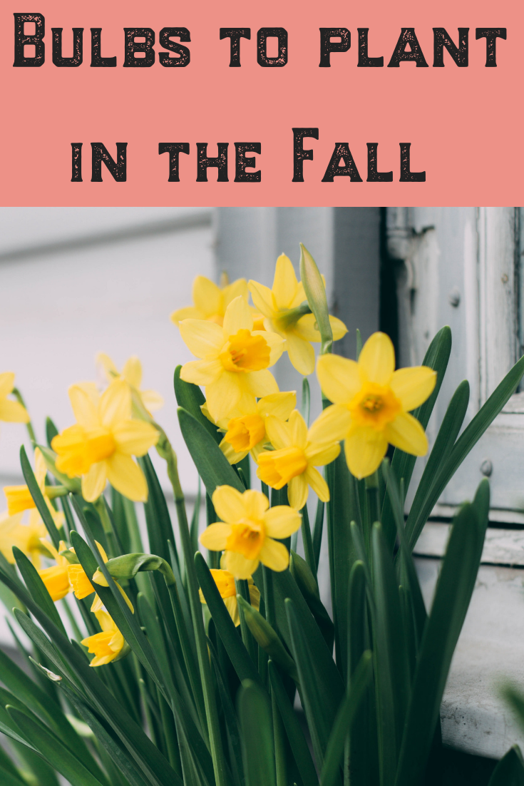 Trying to figure out which bulbs to plant in the fall for a spring garden? Read this article for tips and ideas on when and how to plant the most popular bulbs, including tulips, iris, daffodils and more! Whether in containers or in your garden, this DIY guide will have you celebrating spring surrounded by blooms! 